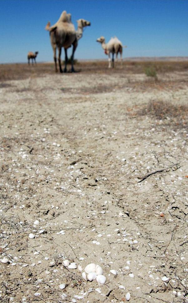 Aavikko on valkoisenaan simpukankuoria.