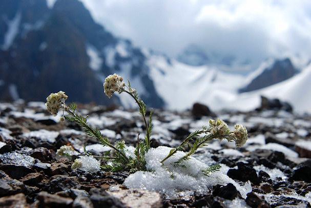 Valkeita kukkia lumessa | Jussi Santala | Kulkuri.org
