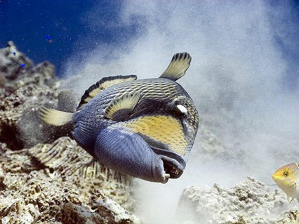 Kiilasäppikala eli triggerfish eli triggeri kuopii pesäkoloa; Phuket, Thaimaa | Jan Messersmith | kulkuri.org