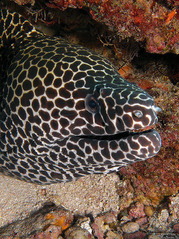 Verkkomureena, leopardimureena eli laced moray kurkkii kivien välistä | Philippe Guillaume | kulkuri.org