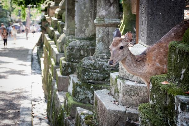 Viikon kuva: Naran temppelialue, Japani (kurkkaava bambi) | Tuukka Ylä-Anttila | kulkuri.org