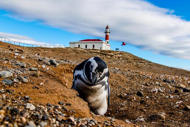 Pingiviini Patagoniassa, Chilessä | Lee Kasemets | kulkuri.org