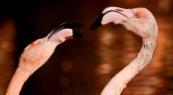 Flamingot tappelevat | (cc) LHG Creative Photography | kulkuri.org