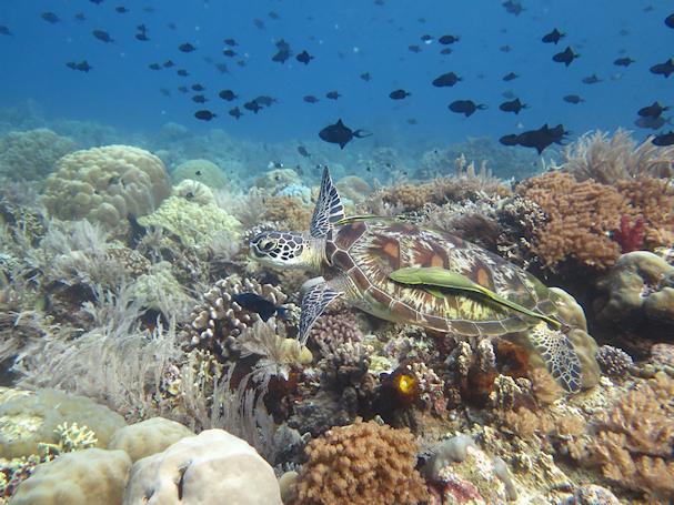 Sukelluskuva: merikilpikonna Indonesiassa, Sulawesin edustalla | (c) Teija Nikkari - Sukellus Asiaan | kulkuri.org