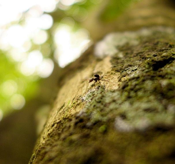 Muurahainen sademetsässä, Rio Dulce, Guatemala - kulkuri.org