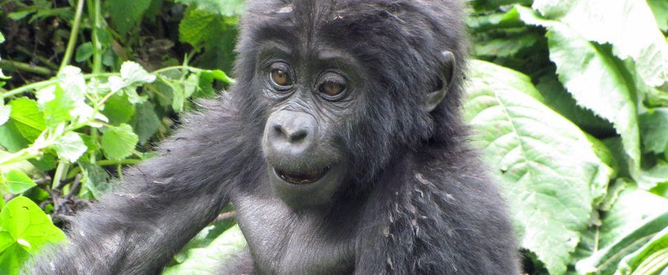 Kongon vuorigorilloja uhkaa öljy-yhtiöiden ahneus - Mikko Vesterinen - kulkuri.org