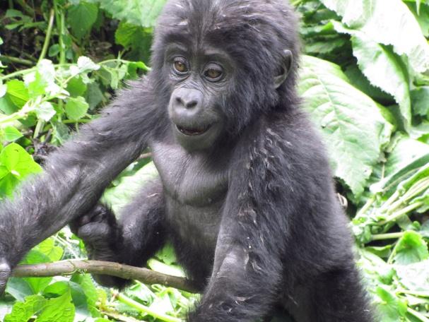 Söpö gorillanpoikanen, Bwindin kansallispuisto, Ruanda - Mikko Vesterinen - kulkuri.org