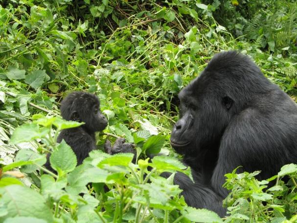 Gorillaperhe gorillojen tavallisissa puuhissa, Bwindi, Uganda - Mikko Vesterinen - kulkuri.org