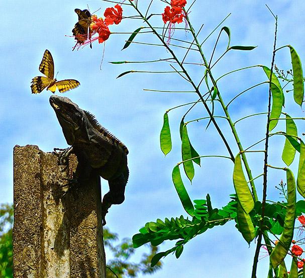 Iguaani syö palan perhosen siivestä - Cole Richardson - kulkuri.org